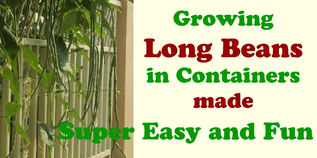 Growing Long Beans in Containers