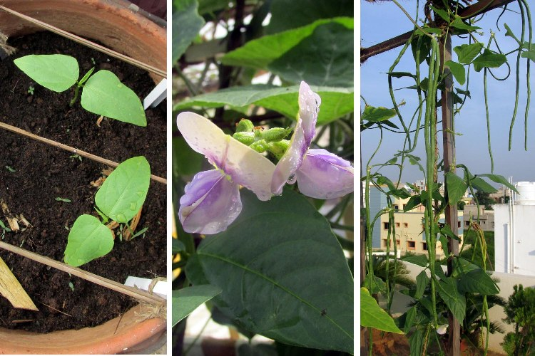 long beans germination, flowers and pods