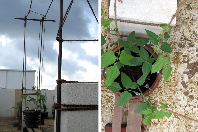 Trellis structure for long bean