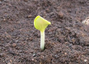 Pumpkin seed germinated