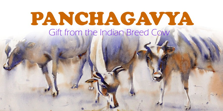 How to Prepare Panchagavya