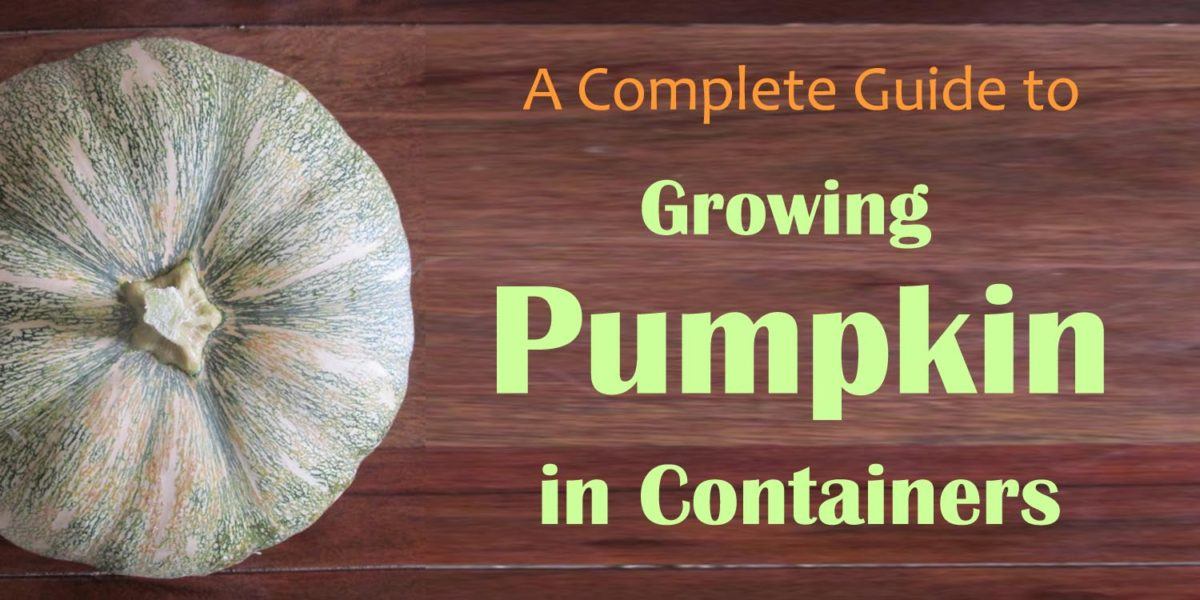 growing pumpkin in containers
