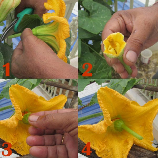 Step by Step hand Pollination of Pumpkin Flower