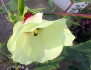 Beautiful Okra Flower