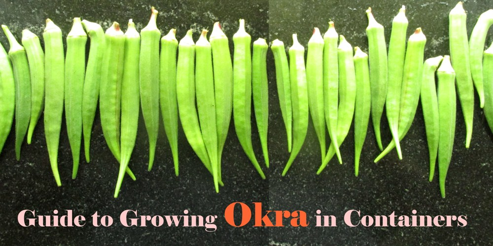 How to Grow Okra in Pots Organically