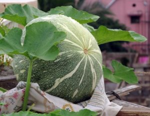 Pumpkin growing on the plant