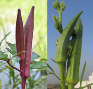 red vs green okra