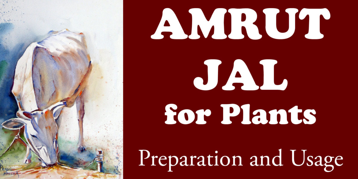 Amrut Jal for Plants – Preparation and Usage