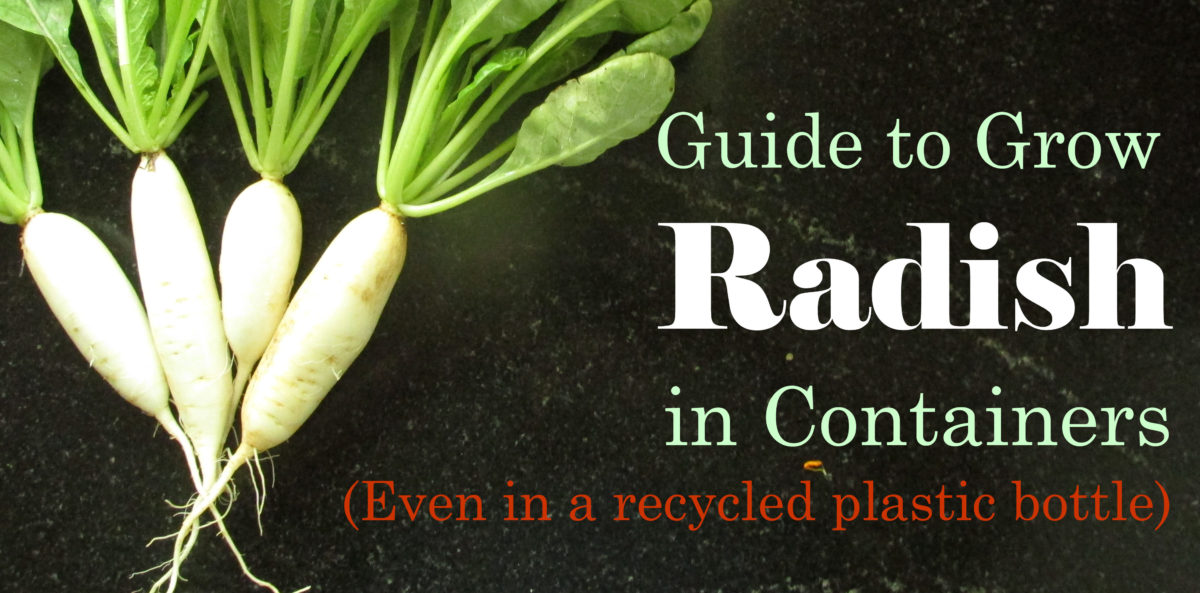 How to Grow Radish in Containers… Even in a Plastic Bottle