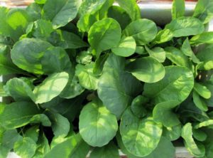 Happy looking radish plants growing in a box type container