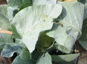 Blanching prevents discoloration of Cauliflower buds