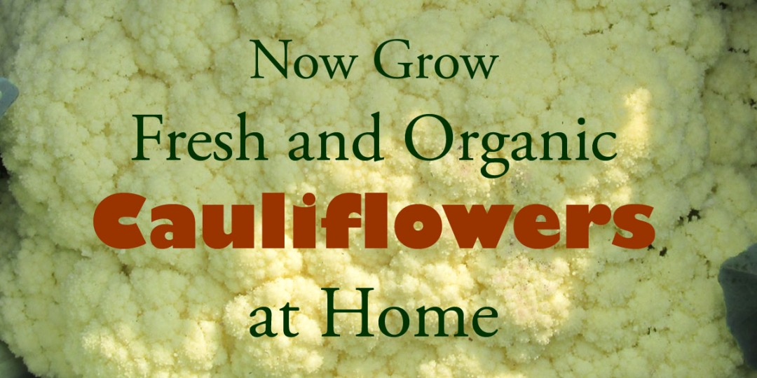 Growing Organic Cauliflower in Pots
