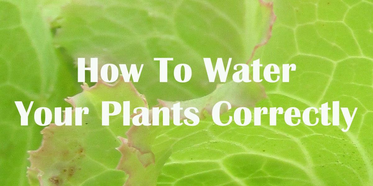 How to water plants correctly