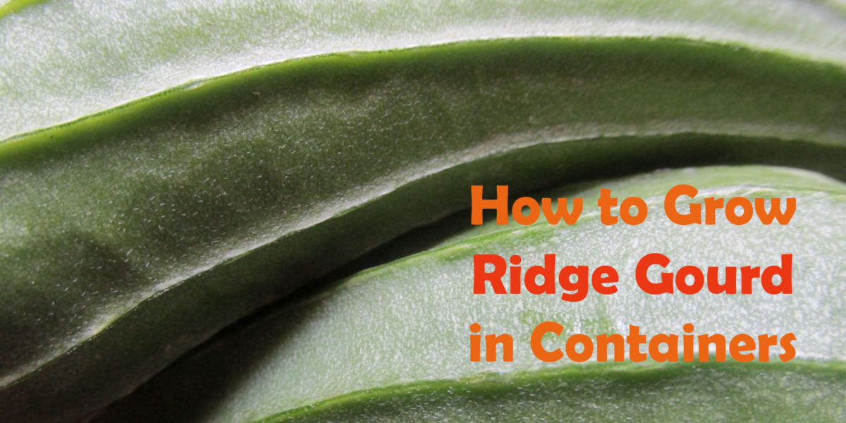 How to grow Ridge Gourd in Pots