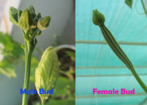 Ridge gourd female and male flower buds