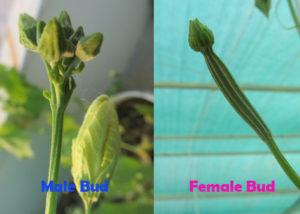 Ridge gourd female and male flower buds