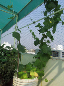 Ridge gourd vine can climb even on fishing net