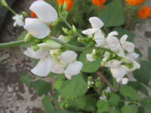Broad Bean Plant in Flowering Stage