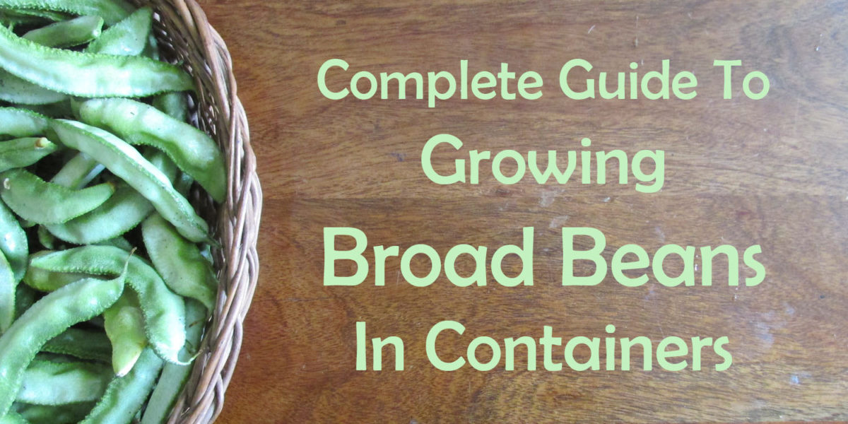 Growing Broad Beans in Containers