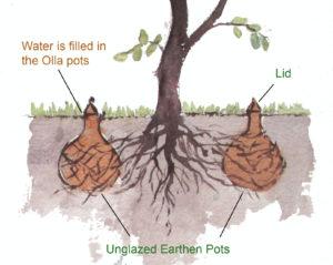 Olla Irrigation
