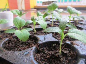 Happy brinjal seedlings