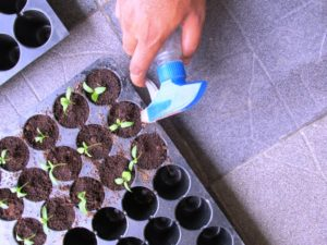 watering the eggplant seedlings with a spray