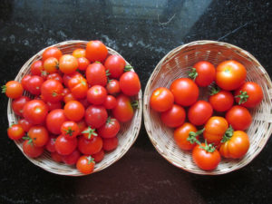 Bountiful Tomato Harvest