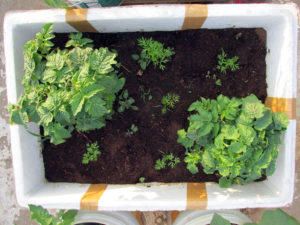 Companion Planting - Tomato with Carrots