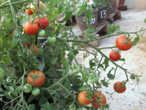 Tomatoes ripened on the plant