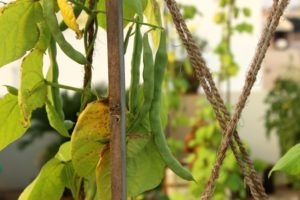 Beans are container gardening friendly