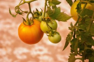 Tomato is a great vegetable to grow in winters in India