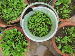Baby spinach can be grown packed in a container