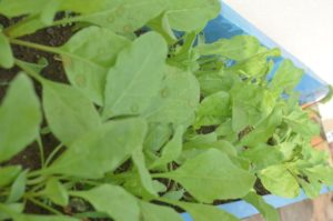 Spinach can be planted in any container