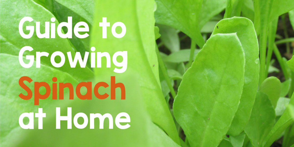 Complete Guide to Growing Spinach at Home