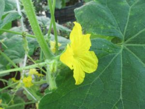 Male flower of cucumber