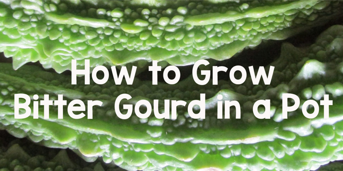 grow bitter gourd in a pot
