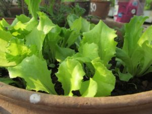 Loose leaf lettuce in growing stage