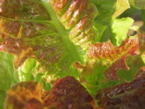 Loose leaf red variety lettuce