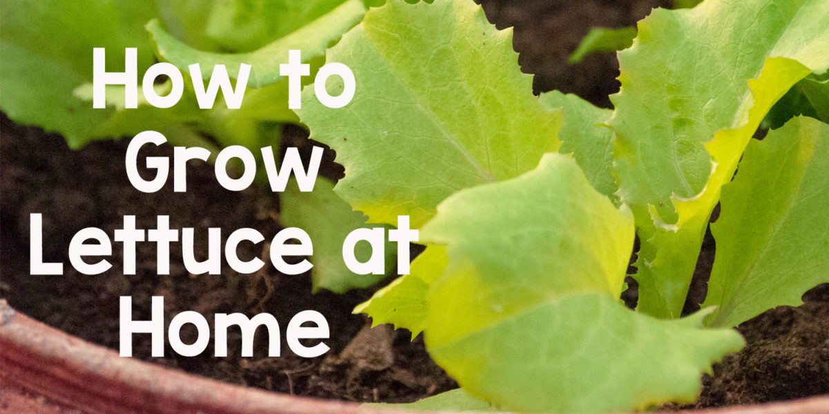 How to Grow Lettuce at Home in India