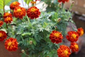 Some lovely marigold to light up the garden