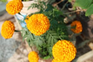 Marigold acts as a good trap crop