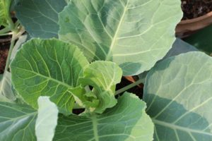 Cabbage plants will start growing a head soon