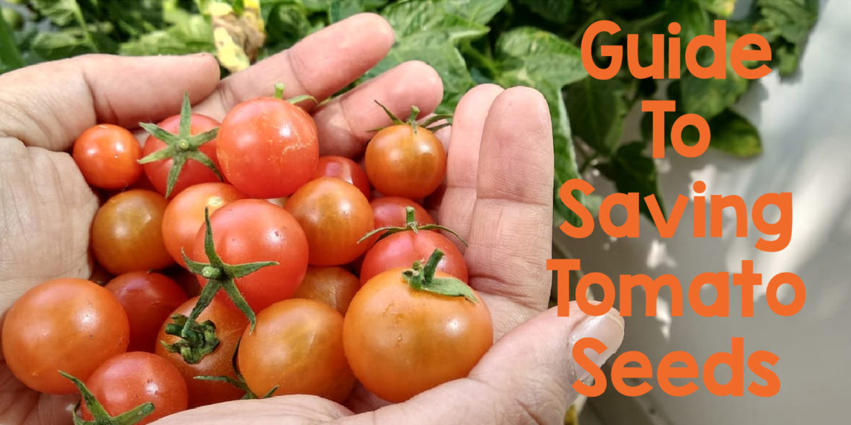 How to Save Tomato Seeds for Planting Next Year