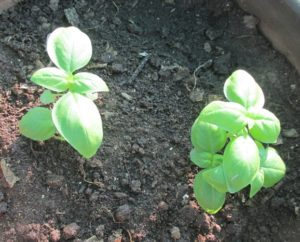 Basil transplanted in a pot